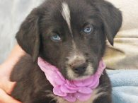 Storm is a beautiful 9-10 week-old Border Collie mix female with two pretty blue eyes who came to Canine Lifeline along with her mom Sadie and 7 siblings so she could find a great home. We don't know who her […]