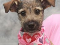 This cute and very charming pup is Surrey, a 4 month-old Terrier/Schnauzer mix female, who came to Canine Lifeline to find the perfect new home. She was found as a stray in a rural area and when no owner was […]