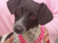 Meet Susie, a pint-sized dynamo who's small but mighty. This little lady is about 2-3 years-old and looks like she might be a mix of Doxie and some type of Terrier—Rat Terrier, Jack Russell, ??? Your guess is as good […]