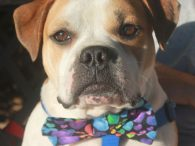Chubbs is one VERY silly boy! This charming 3 year-old Bulldog mix male came into an overcrowded county dog shelter as a stray. When he wasn't claimed, he made the trip to Canine Lifeline so he could enjoy life in […]
