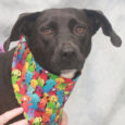 Aspen is a very kind and gentle 1.5 year-old Lab mix female who came into a rural county dog shelter along with her pal Amber. This shelter doesn't have an adoption program, so it can be a literal dead end […]