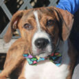 This handsome young man is Flip, a 6-7 month-old Boxer/Beagle mix (or at least that's our best guess!) who's one spunky puppy! Flip came into an overcrowded county dog shelter as a stray so we have no history on his […]