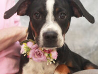 Hannah is a super-cute 7 month-old Boxer/Beagle mix girl who was surrendered to an overcrowded county dog shelter along with her mom Hazel. We don't know what caused them to lose their home but it's a good thing for both […]