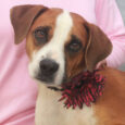 This very lovely and well-mannered lady is Hazel, a 2.5 year-old Boxer/Beagle mix female who is most certainly as sweet as they come. She was surrendered to a county dog shelter along with her 7 month-old pup Hannah by their […]