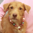 Terrier lovers, meet Kiki! This outgoing and spirited redhead is about 2 years-old and made the trip to Canine Lifeline from an overcrowded county dog shelter to find herself an outstanding new home. She looks like a mix between some […]