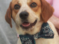 This handsome boy is Louie, a 1 year-old pup who looks to be the perfect mix of Beagle and Cattle Dog. Louie was found as a stray by a Good Samaritan. When no owner was located, she tried to keep […]