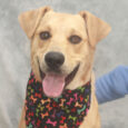 Looking for a big, active pup to keep you on your toes? Our Maguire definitely fits the bill and is up to the task. This very friendly and sociable 7 month-old Lab mix has a gorgeous soft and wavy coat […]