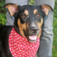 Monroe is a super-sweet and loving 3 year-old Shepherd/Lab mix male who was left in a rural county dog pound's overnight drop box with his equally sweet brother Sawyer. The two boys made the trip to Canine Lifeline so they […]