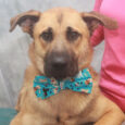 Odin is a sweet and lovable 1 year-old who looks like a mix of Anatolian Shepherd and Lab. He's a big puppy who's still growing into his long, lanky body. We don't have any history on Odin as he came […]