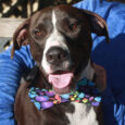 Puckett is a handsome 2 year-old Pointer/Great Dane mix male who came to Canine Lifeline to work on finding himself a great new home. A Good Samaritan saw him being pushed out of a car along with another dog in […]