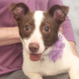 Ruthie is a very spunky and opinionated 1 year-old Jack Russell Terrier mix female who was found as a stray and taken to the local shelter. She was very frightened there and wary of trusting new people. She made fast […]