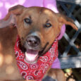 Sawyer is a handsome and very loving 3 year-old Lab/Shepherd mix male who was left in a rural county dog shelter's overnight drop box along with his brother Monroe. From the shelter, both boys made the trip to Canine Lifeline […]
