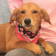 Starla is an adorable but very camera-shy 1 year-old Doxie/Beagle mix female. She came into a rural county dog shelter as a stray and was very shy and frightened there. When she wasn't claimed, she made the trip to Canine […]
