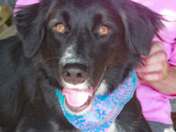 Stella is a beautiful 15 month-old Border Collie/Retriever mix female with a sweet disposition. She was surrendered to an overcrowded county dog shelter by her family who just said they didn't want her anymore. Hard to believe as Stella is […]