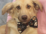 Meet Tanner, a good-looking 9 month-old Retriever mix male with a beautiful coat, gorgeous eyes, and a sweet disposition. He was found running loose with his buddy Kona and taken to the local county dog shelter. Neither dog was claimed […]