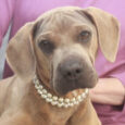 Meet Tara, a friendly 1.5 year-old girl who looks like the perfect mix of Shar-Pei and Beagle—not a combination you see every day! She was found as a stray and when she wasn't claimed at the local county dog shelter, […]