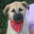 Looking for a BIG puppy who's going to be a BIG dog? Check out our Truman, a cuddly Teddy Bear of a dog who's about 12-14 weeks old and currently weighs about 25 pounds. Truman, who looks like an Anatolian […]