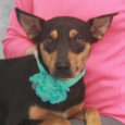 Zelda is a beautiful 2 year-old girl who looks to us like she might be a mix of Kelpie and Dobie. Since she came to us from an overcrowded rural county dog shelter, we have no history on her but […]
