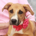 This beautiful pup is Breezy, an 8 month-old Lab/Hound mix girl with a great disposition. She came into an overcrowded county dog shelter along with her brother Blaze. We don't know what their pre-shelter life was like but we've found […]
