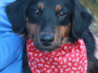 Brody is a very sweet and lovable 7-8 month-old Aussie/Retriever mix male who came to Canine Lifeline along with his Aussie mom and 6 siblings so they could find great new homes. While we don't know who dad is, we […]