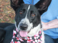 Brynn is a beautiful and very photogenic 1 year-old Cattle Dog/Shepherd mix female who was surrendered to a county dog shelter along with her twin sister Brooke by their owner who could no longer care for them. She was adopted […]