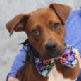This beautiful red and white dog is Cagney, a 1 year-old Boxer mix with a charming underbite and a friendly disposition. He came into an overcrowded county dog shelter as a stray so we have no history on his pre-shelter […]