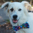 Cisco has it all—great looks and a fabulous disposition! This gorgeous and very photogenic 1.5 year-old Great Pyrenees mix male was adopted from a county dog shelter as a puppy but recently returned because his family's living arrangements had changed […]