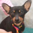 Chihuahua lovers, meet our little adoptable 2 year-old boy Cubby! This handsome little gentleman was surrendered to an overcrowded rural county dog shelter along with two of his buddies by his owner who had too many dogs to care for […]
