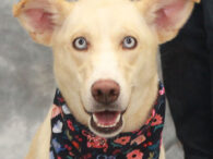 This gorgeous 9 month-old Husky mix with the beautiful blue eyes is Ellie. She was surrendered to an overcrowded county dog shelter by her family who could no longer keep her. While we don't what type of life Ellie led […]