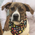 Emmie is a beautiful 1.5 year-old Mountain Cur mix female who might have some Lab or Boxer in her family tree too. She was surrendered to a county dog shelter by her family for chasing chickens. From the shelter, she […]