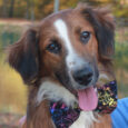 Finn is a very sweet, lovable, and very good-looking 7-8 month-old Aussie/Retriever mix male who came to Canine Lifeline along with his Aussie mom and 6 siblings so they could find great new homes. While we don't know who dad […]