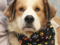 Gabe is a gorgeous 1 year-old Collie mix who looks like he might have some St. Bernard in his ancestry too. He was surrendered to an overcrowded rural county dog shelter by his owner who couldn't care for him […]