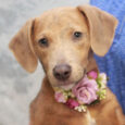 Looking to add some puppy love to your life? Look no further than Ginger, our adorable 5 month-old Beagle/Doxie mix girl, who's eager to find herself her very own family to love. Ginger found herself homeless at an overcrowded county […]