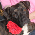 Just how much fun can one dog have? Gracie, our 1 year-old Boxer/Pittie mix girl, lives by the motto that a happy life is made up of love, silliness, and lots of toys! In spite of having come into an […]