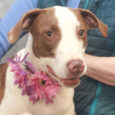 Meet Gypsy, a friendly and sociable 10 month-old Hound/Pointer mix female with beautiful milk chocolate and white markings. She was surrendered to a county dog shelter by her family who didn't have time to train an active young dog. This […]