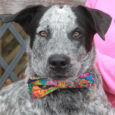 Hayden is a friendly and outgoing 7-8 month-old Cattle Dog mix male who may have some Shepherd or Husky in his family tree. He was surrendered to a county dog shelter along with his brother Wyatt who looks very much […]