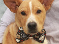 If you're a big dog lover, you're going to be head over heels for our BIG puppy Hoss! This super-cute and cuddly 6 month-old Cattle Dog/Shepherd mix with the oversized ears found himself homeless at an overcrowded rural county dog […]