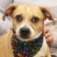 You'd be hard-pressed to find a cuter guy than Humphrey, a 5 year-old Pug/Terrier mix male who came to Canine Lifeline from an overcrowded rural county dog shelter. We don't know how Humphrey came to be in the shelter but […]