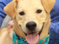 Jake is a very sweet and loving 1 year-old Lab mix male. At 30 pounds, Jake has all of the great Lab qualities in a smaller dog. We don't have any history on this great dog or know how he […]