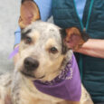 Cattle Dog lovers, meet JD! This handsome 3 year-old boy came into an overcrowded county dog shelter as a stray so we have no history on his pre-shelter life. We have found him to be a friendly and outgoing dog […]