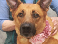 Laramie is a shy but sweet 4.5 year-old Shepherd mix female who was adopted from us about 1.5 years ago but recently returned because her family's living arrangements had changed and they were no longer able to keep her. She […]