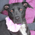 Lab lovers, meet Melanie, a 1.5 year-old Black Lab mix girl who has a great disposition and sweet personality. She posed so seriously for the camera that her cheerful exuberance doesn't come through in her photos. You'll have to meet […]