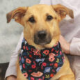 This beautiful girl is Mia, a 1.5 year-old Shepherd mix female who came into a rural county dog shelter as a stray and made the trip to Canine Lifeline so she could take her time finding the perfect new home. […]