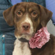 Ruby is a gorgeous 1 year-old Lab/Pointer mix with beautiful markings and a great disposition. She was found as a stray and taken to the local shelter. No one claimed her there so she made her way to Canine Lifeline […]