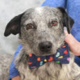 Meet Stitch, a very handsome 1 year-old Cattle Dog/Aussie mix male with a bobtail who was surrendered to a county dog shelter along with his brother Sully. We don't know what circumstances caused this pair to lose their home or […]