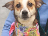 This beautiful little lady is Sydney, a 1 year-old Pug/Beagle mix who looks like there might be a little bit of Shepherd way back in her family tree. We don't know for sure what breed mix she is as […]
