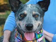 You'd be hard-pressed to find a more mellow, loving Cattle Dog than our boy Timmie. This handsome 4 year-old gentleman came to us from an overcrowded rural county dog shelter. While we don't have any history on his previous life, […]