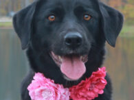 Belle is a beautiful 1 year-old Black Lab mix with some pretty white markings. She was living her life on a chain and sleeping in a dog house for the first year of her life. Fortunately, her owner came to […]