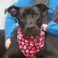 We just love this girl! Bubbles is a very friendly and outgoing 8-9 month-old Lab/Boxer mix pup who has never met a stranger. She loves all dogs and people that she meets and thinks that they should love her right […]