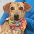Copper Cole is a very handsome 1.5 year-old Mountain Cur mix male with a light brindle coat that's reminiscent of a Greyhound. He's also on the smaller side and his face resembles that of a Doxie so he is likely […]